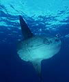 Dive Bali with Mola Mola - Oceanic Sunfish